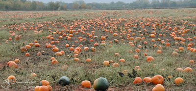 The ultimate pumpkin patch. | Triumphant Learning